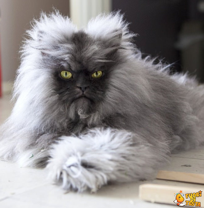 Il gatto più peloso al mondo