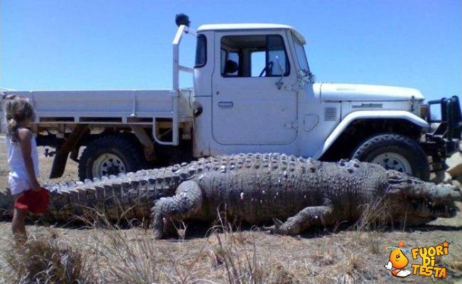 La grandezza di un coccodrillo