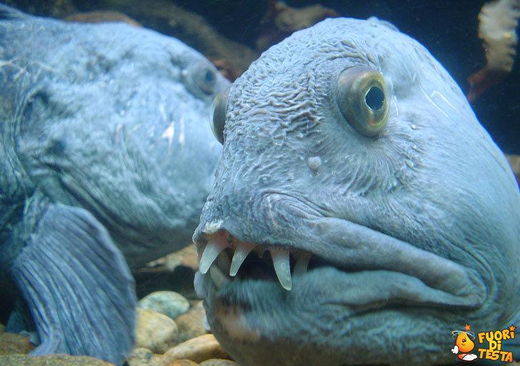 Pesce dal sorriso smagliante