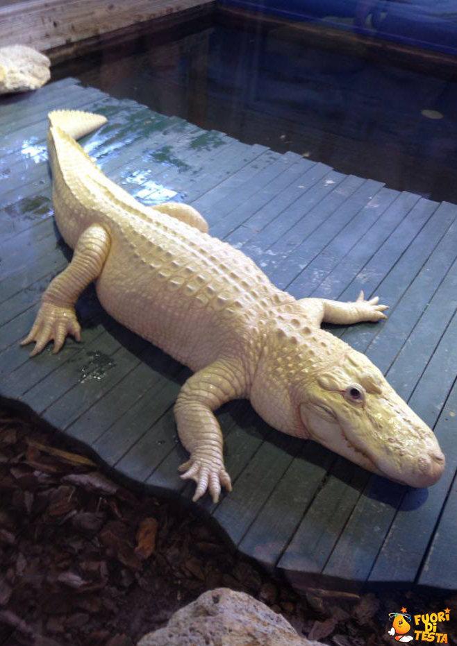 Raro alligatore albino