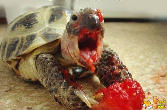 Tartaruga molto cruenta
