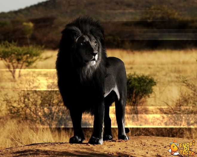 Un fantastico leone nero