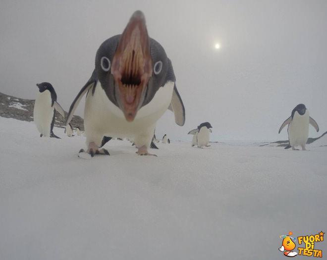 Un pinguino un po' aggressivo
