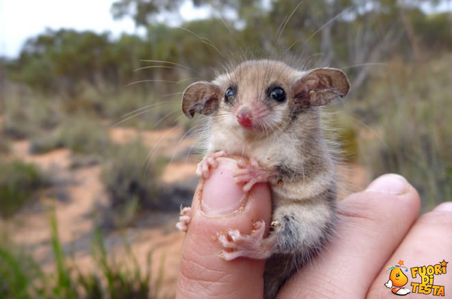 Uno dei più piccoli roditori al mondo
