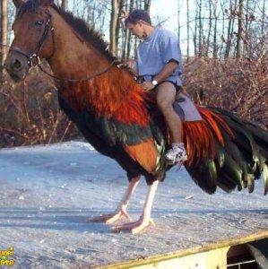 Cagallo al galloppo