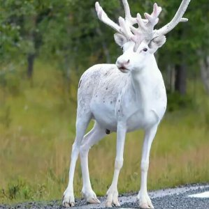 Fantastica renna albina