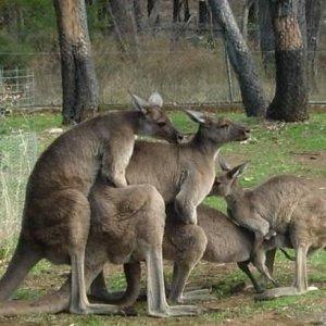 I canguri amano stare in gruppo