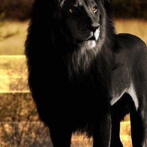 Il leone nero