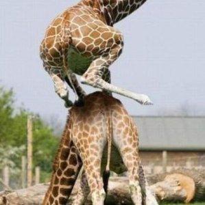 Il salto della giraffa