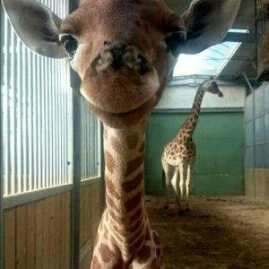 La giraffa felice