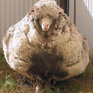 La pecora più grossa al mondo