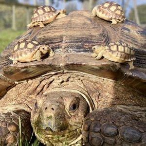 La tartaruga e i suoi figli