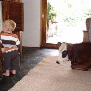 Mucca domestica che guarda la TV