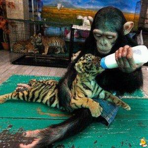 Scimpanzè allatta una tigre