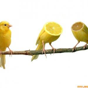 Spremuta di canarino