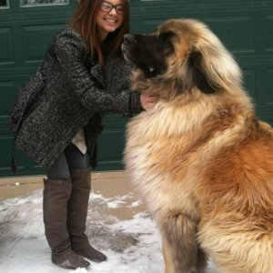 Un fantastico cane Leonberger