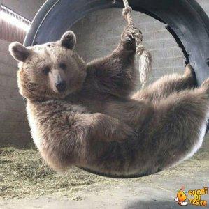 Un orso pigro
