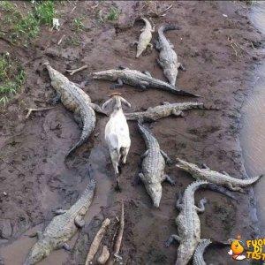 Una capra coraggiosa