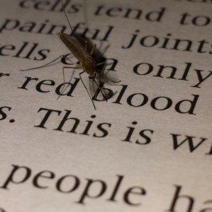 Zanzara studia biologia