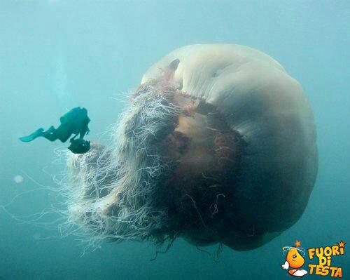 La più grande medusa al mondo