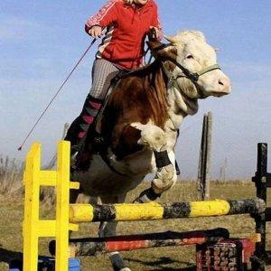 L'agilità di una mucca