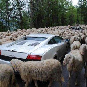 Gregge di pecore e Lamborghini