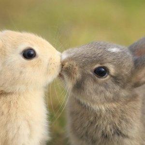 Bacio appassionato tra conigli