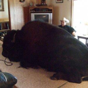 Bufalo domestico