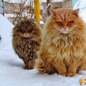 Gatti delle foreste norvegesi