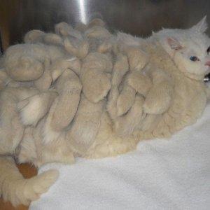 Il gatto rasta