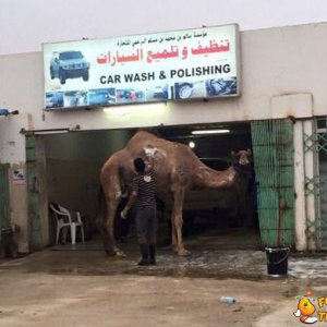 Lavaggio cammelli