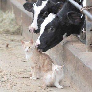 Mucca e gatto, best friends