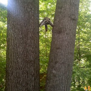 Procione acrobata
