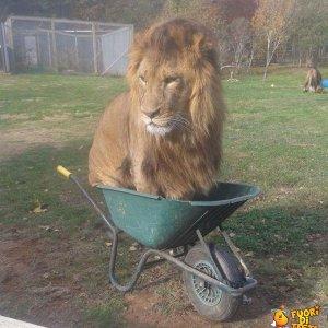 Un leone pigro