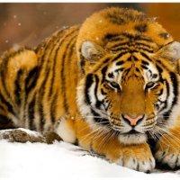tigresiberiana