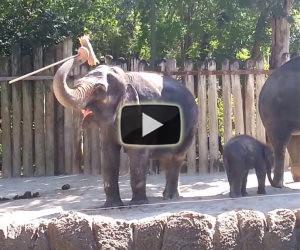 Elefante si pulisce con una scopa