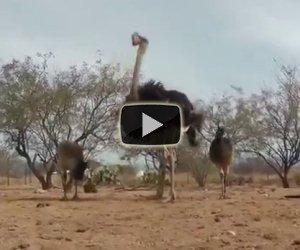 Emu alle prese con un giocattolo, la loro reazione è esilarante