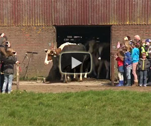 Queste mucche vedono il cielo per la prima volta, ecco la loro reazione