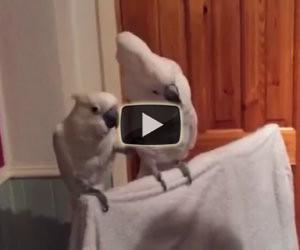 Inizia a suonare Elvis, la reazione dei pappagalli è spettacolare