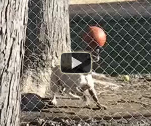 Ecco un cane che crede di essere un campione di calcio