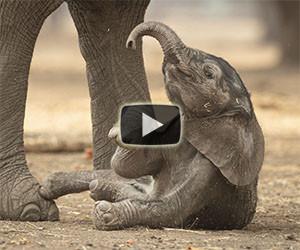 Un piccolo elefantino si diverte così nella foresta