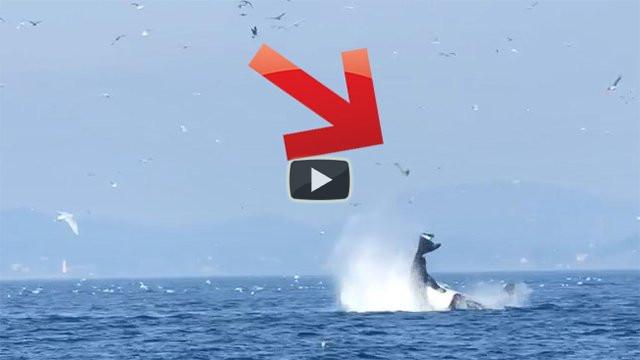 Una balena lancia una foca in aria