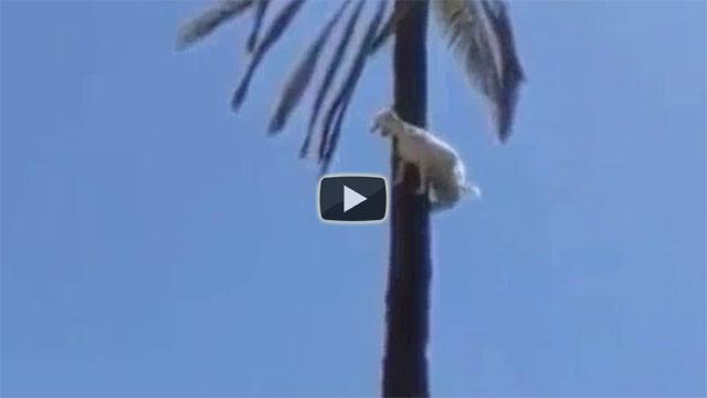 Capra in cima ad un albero, come ci sarà arrivata?