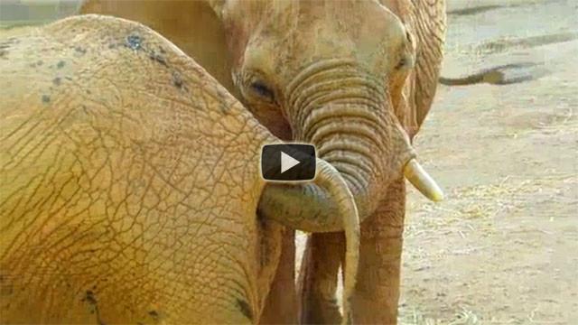 L'elefante fa uno spuntino davvero disgustoso