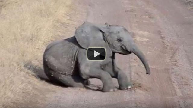 L'elefantino fa i capricci, ecco come reagisce la madre