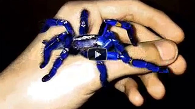 Ecco l'impressionante tarantola blu