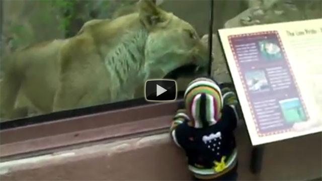 Una leonessa prova a mangiare un bimbo nello zoo