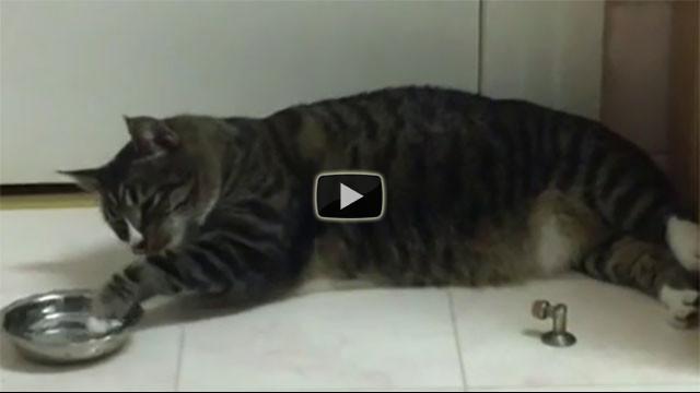 Questo gatto è troppo pigro per bere ma trova una soluzione...